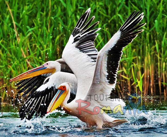 Danube Delta Romania photo source Iliuta Goean fotonatura ro 4 (2)