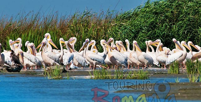 Danube Delta Romania photo source Iliuta Goean fotonatura ro 6