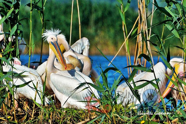 Danube Delta Romania photo source Iliuta Goean fotonatura ro 12