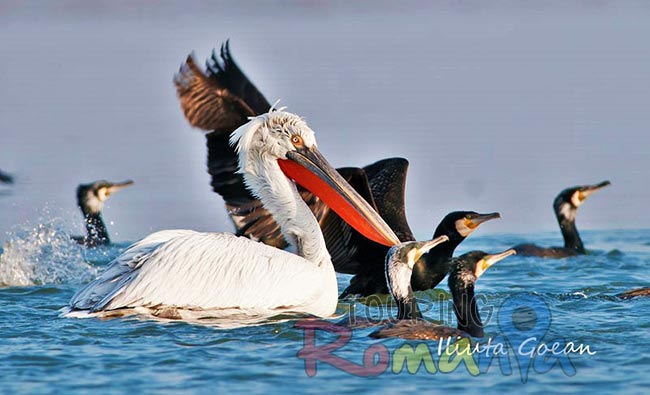 Danube Delta Romania photo source Iliuta Goean fotonatura ro 8